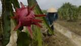 Trung Quốc tạm ngưng nhập khẩu thanh long từ Việt Nam